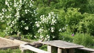 Guelder Rose.jpg