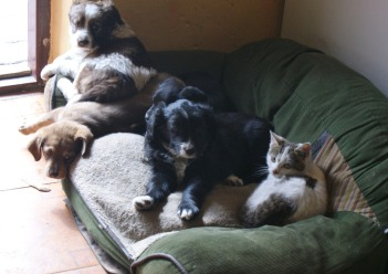 A quick pic of the pups before they found new homes. And yes that is a cat!